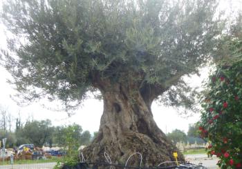 L'Olivier l'arbre de la région par excellence